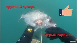 Подводная Охота Хитрый горбыль и зачетный зубарь