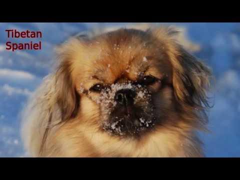 Tibetan Spaniel - smallest dog breed
