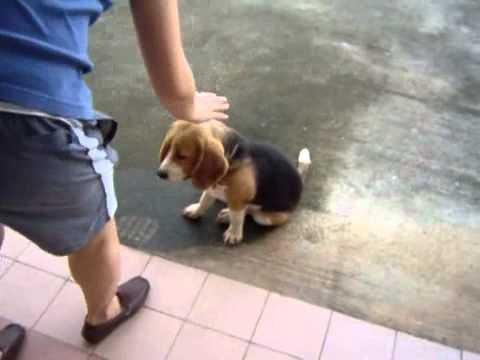 Training beagle puppies