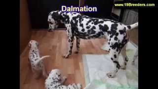 Dalmation, Puppies, For, Sale, In, Charleston, West Virginia, Wv, Williamson, Culloden, Kenova, Plea