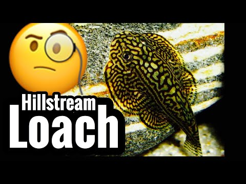 Butterfly Hillstream Loach Care - Magnificent