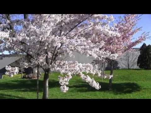 2013 May Toronto SAKURA Cherry Blossoms  JCCC Japanese Canadian Cultural Centre a2 m
