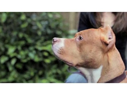 Pros & Cons of a Pit Bull | Dog Breeds