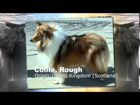 Collie, Rough Dog Breed thumbnail