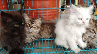 Persian Kittens Available ( Unbelievable Price)