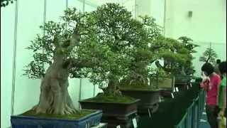 Bonsai Cina - Part 1_Ottava Guangdong, Hong Kong Bonsai (Chencun).