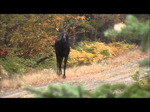 Chasse Orignal 2013 N.B. - Moose Hunting 2013 N.B.
