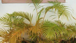 How to propagate Areca Palm very easily- Ayrike in Gujarati