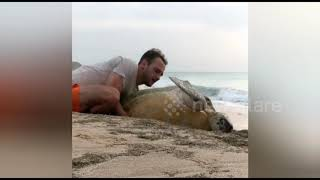 Giant Green turtle rescue on a beach in Oman