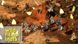Lime butterflies and Common Emigrants seen mud-puddling in Panna National Park