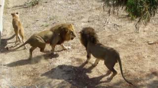 Тунис, зоопарк Фригия, битва львов. Zoo Tunisia. Friguia Park