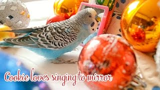Budgie singing to Mirror | Christmas Edition