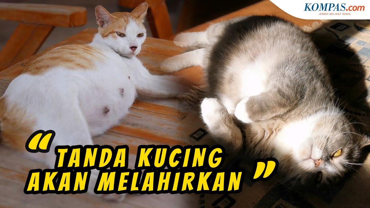 Ciri Ciri Kucing Akan Segera Melahirkan Halaman All Kompas Com