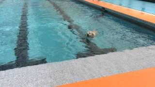 プールに初めて連れて行き、別のラブラドールのあと着いて行って、その...