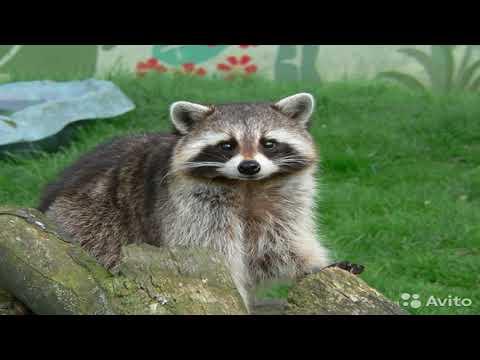 Waschbären Zoo Köln - Видео онлайн