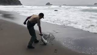 California State Parks Ranger Pulls Beached Shark From the Surf thumbnail
