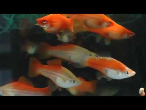 Neon and Red Brick Swordtail Fish - YouTube