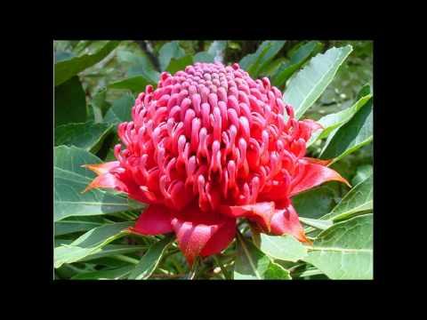 New South Wales Waratah Photosиз YouTube · Длительность: 1 мин9 с
