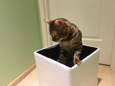 "Cat trick with the box – ""Cat to the box"""