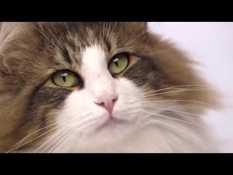Royal Canin Feline Breed Nutrition - Norwegian Forest Cat