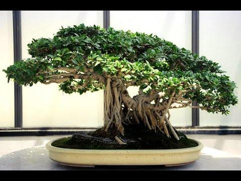 Banyan Bonsai Tree Youtube