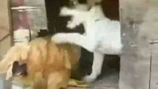 Anjing Perkosa Ayam