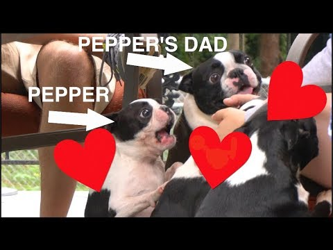 Pepper the Boston Terrier Meets her Dad!