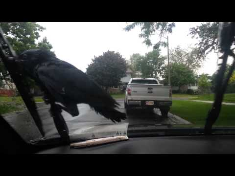 Crow riding windshield wipers
