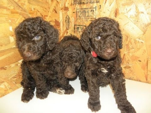 Small Standard Poodle Puppies For Sale Washington State - Dreamydoodles com