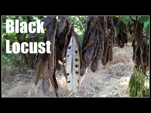 Black Locust (Robinia Pseudoacacia) - Ninja Gardening - Episode 30