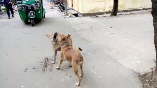 Dog fight over broom in street: Stupid dogs