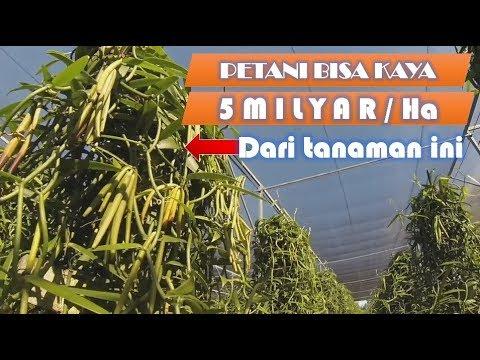 Petani Bisa Kaya 5 Milyar/Ha dari Tanaman Vanili Mp3