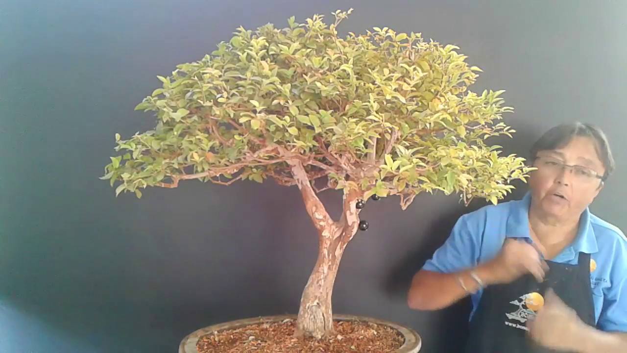 Bonsai De Jabuticaba 1 Youtube