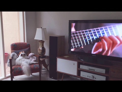 Coco the Birman watching music videos