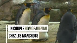 Deux manchots homosexuels adoptent un œuf au zoo de Berlin