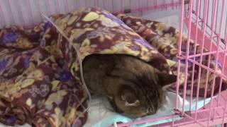 Кошка Тиша приходит в себя после операции