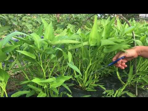 พาเข้าสวนเก็บผักบุ้งปลอดสาร อยู่ต่างแดนก็ปลูกได้ - วันที่ 18 Aug 2017