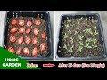 Mẹo Trồng Cây Cà Chua bằng trái Cà quen thuộc của bà nội trợ -  Tips for Growing Tomatoes