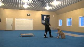 Milo (golden Retriever) Boot Camp Dog Training Minneapolis