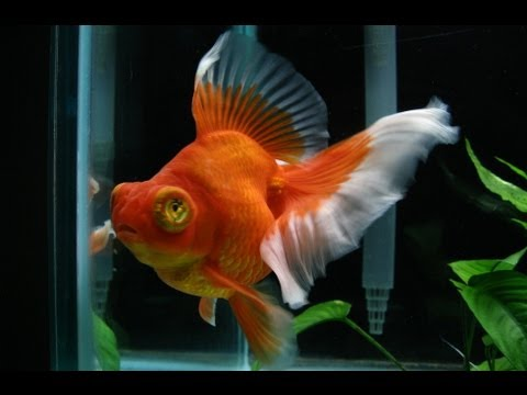 Red butterfly telescope goldfish female youtube for Solid gold fish