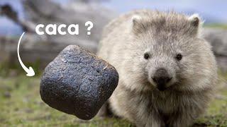 💥☕ POURQUOI les crottes du Wombat sont carrées ?
