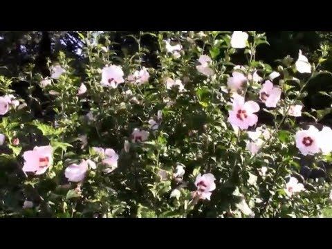 Pruning a Rose of Sharon For More Flowers and a Fuller Bush.