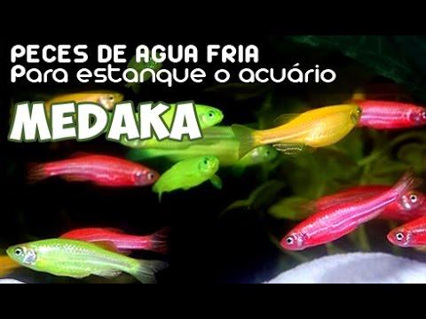 Medaka peces de agua fr a youtube for Peces de agua fria koi