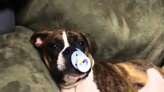 Собака сосёт соска 🍼