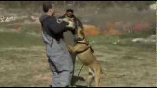 World Class K-9 -  King Of The Belgian Malinois - Protection Training For Dogs