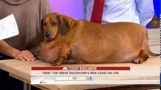 You Don't Believe 77 Pound Dog In The World | Dog Need To Weight Loss