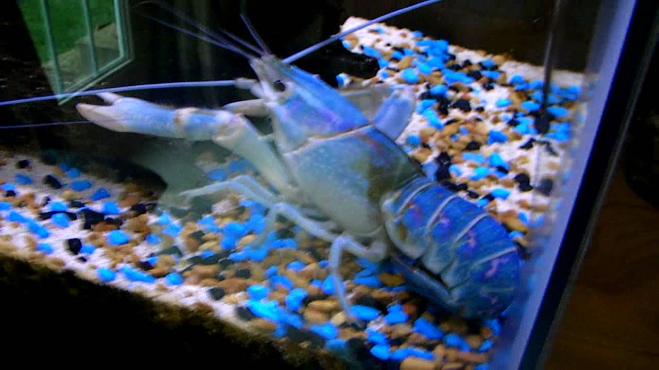 My Pet Blue Lobster Quot Blueclaws Quot Youtube
