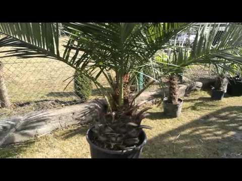Bestpalm TV. Jubaea chilensis, najpotężniejsza palma świata. Tylko w Bestpalm 👍