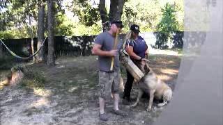 English Mastiff 1st Bite Training