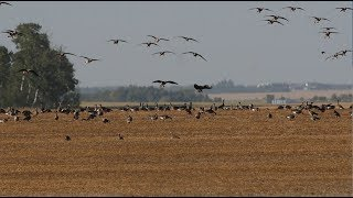 Hired to Hunt Season 4 #2:  It's Raining Birds - Duck and Goose Hunting.  Limit Hunts in Alberta